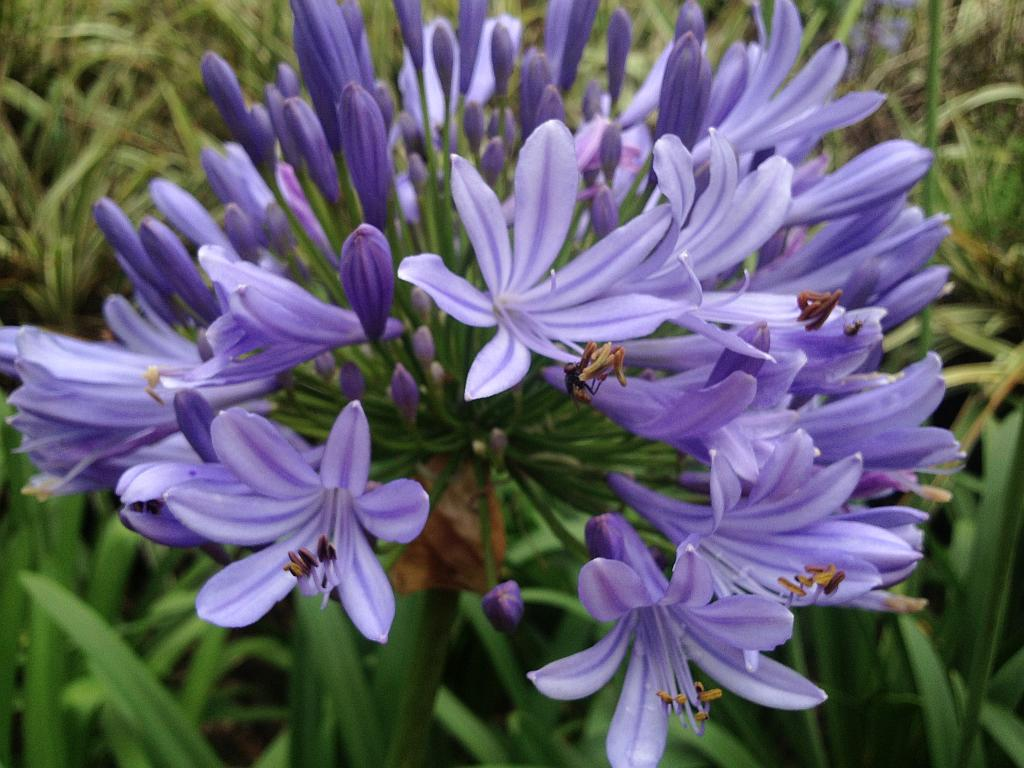 Lavender lily of the nile agapanthus live plant pale purple flower lavender lily of the nile agapanthus live plant pale purple flower spike large mature landscape ready larger image izmirmasajfo