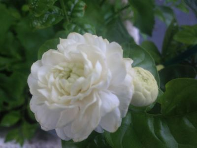 Officinale jasmine grandiflora live plant spanish poet french jasmine false jasmine gardenia mightylinksfo