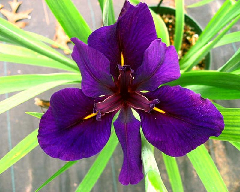 Iris Plant Louisana Full Eclipse Deep Velvet Purple larger image