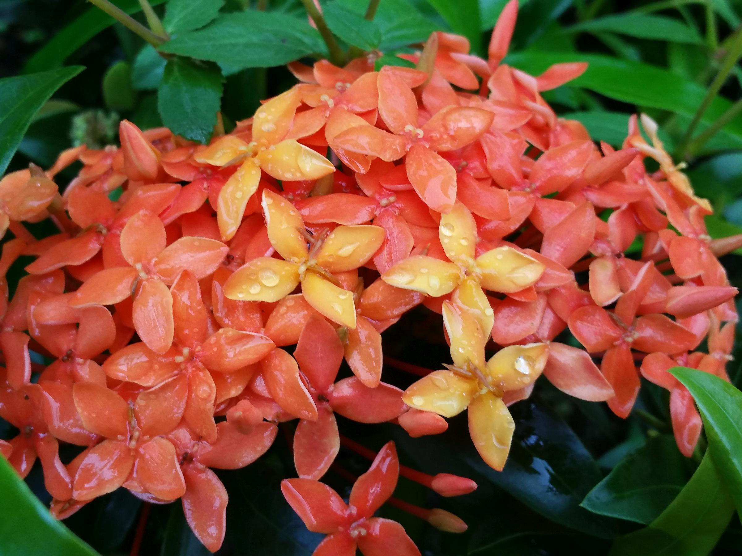 Ixora Hybrid Rare Thai Snow Variegated Leaves White ...