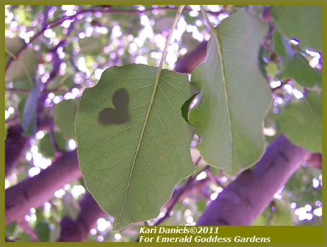 JACARANDA PURPLE Mimosifolia Tropical Tree Plant Showy Blooms Lacy Green Foliage