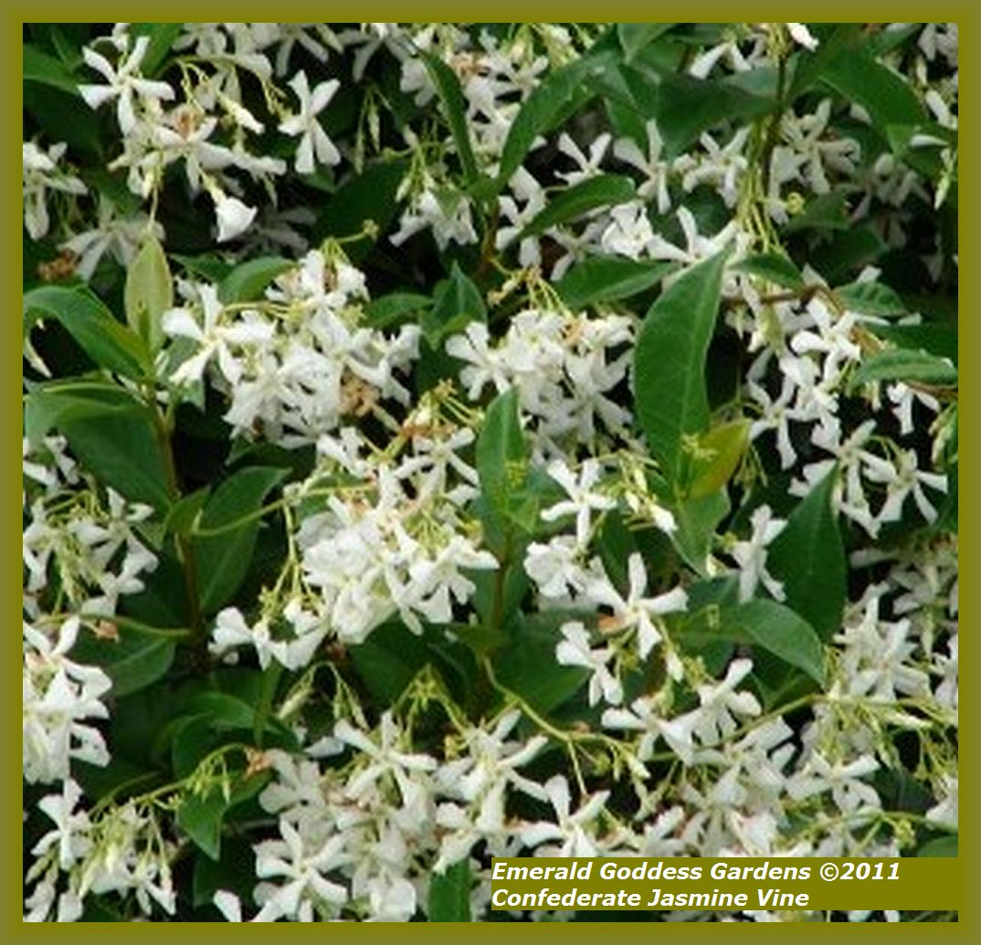 White confederate jasmine vine live plant fragrant flowers spring to white confederate jasmine vine live plant fragrant flowers spring to fall starter size 4 inch pot mightylinksfo