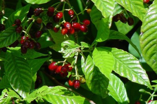 Wild coffee florida native flowering shrub plant ornamental white wild coffee florida native flowering shrub plant ornamental white fragrant bloom small red berry starter size larger image mightylinksfo