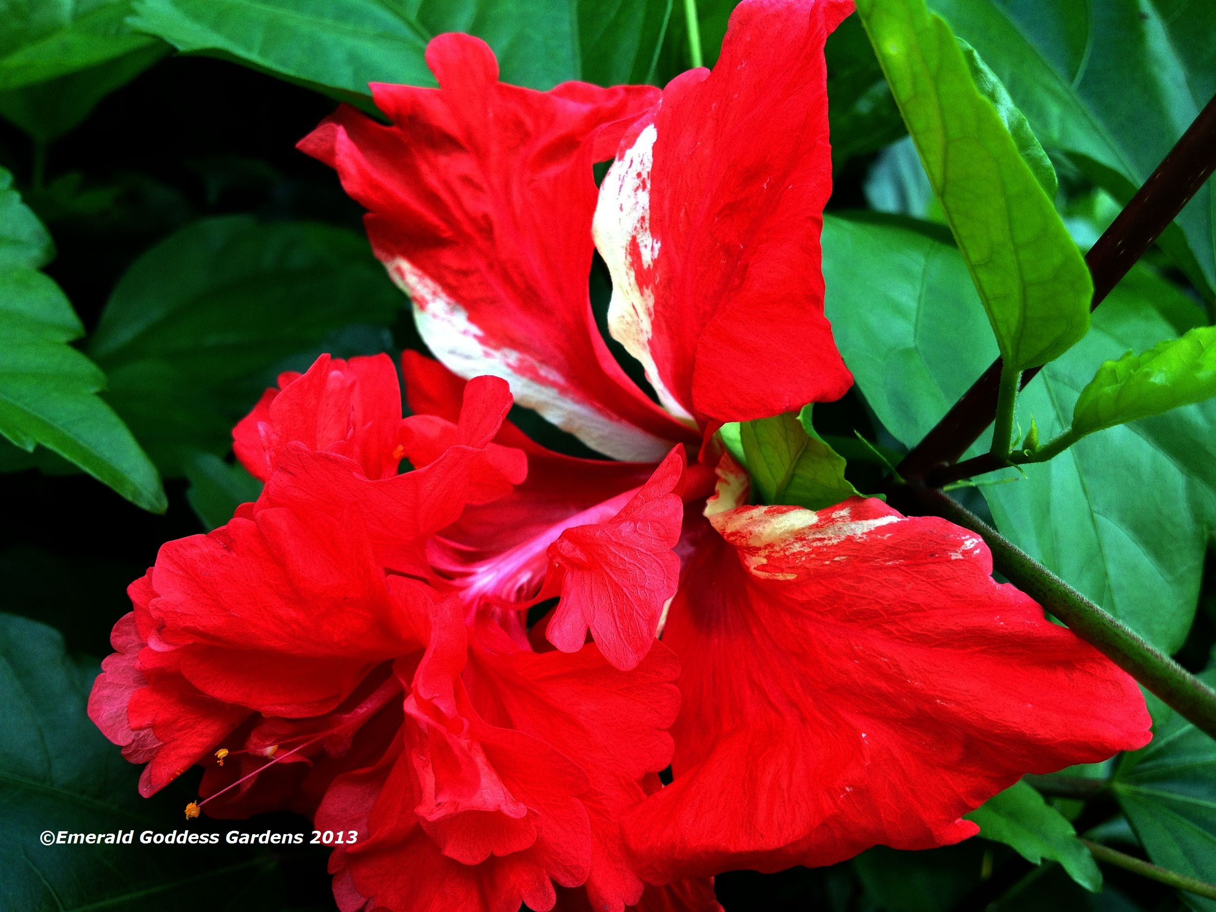 RED Lions Tail Tropical Hibiscus Live Plant Rare Unusual Pom Pom Poodle Tail Flower El Capitola Starter Size 4 Inch Pot Emeralds TM - Click Image to Close