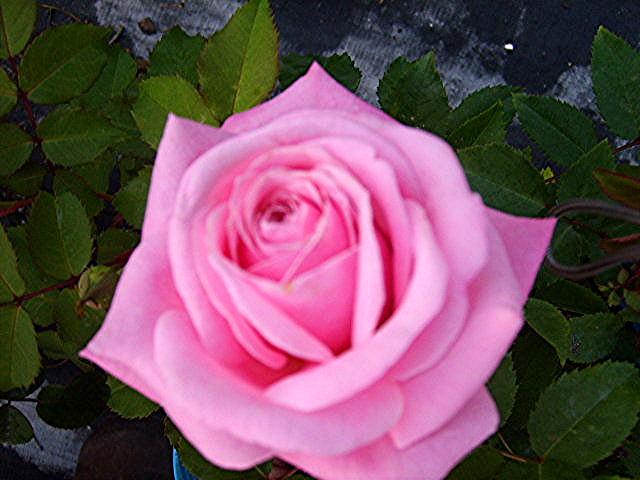 Belindas dream heirloom rose bush live plant fragrant double pink belindas dream heirloom rose bush live plant fragrant double pink flowers perpetual bloomer starter size emerald mightylinksfo