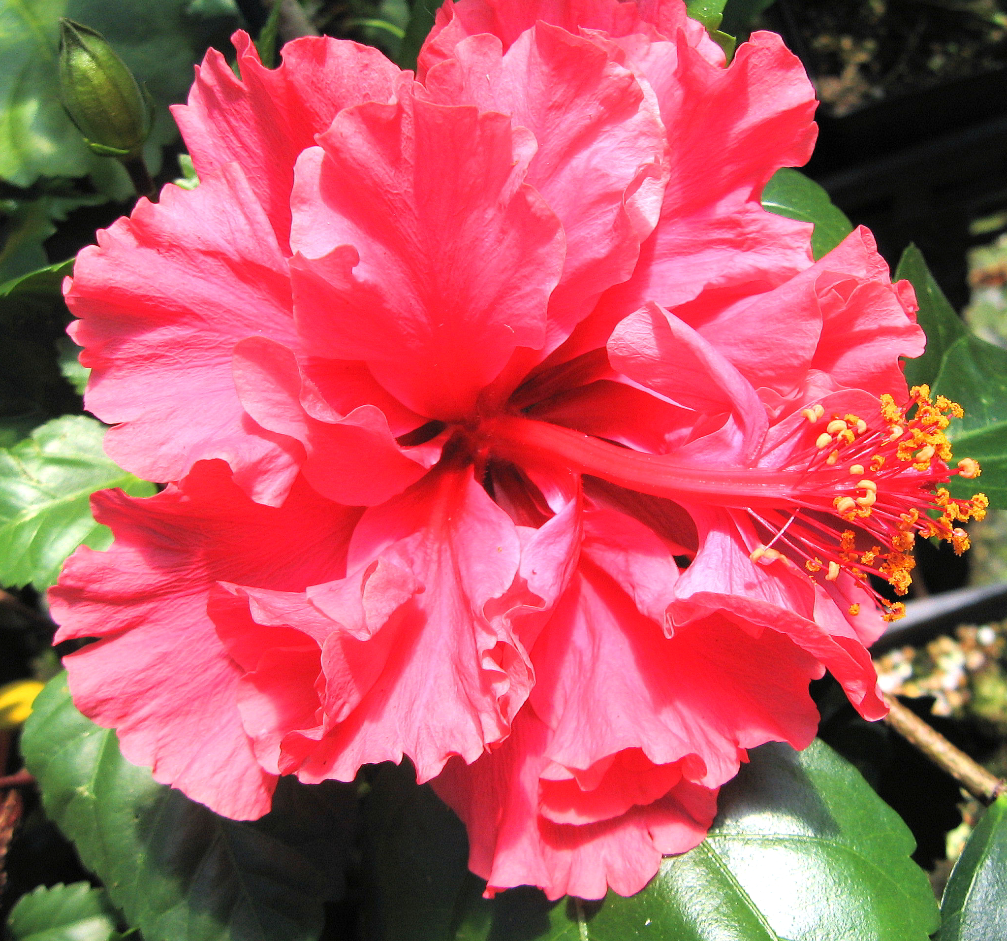 Pride Of Hankins Tree Tropical Hibiscus Live Plant Hot Pink Salmon