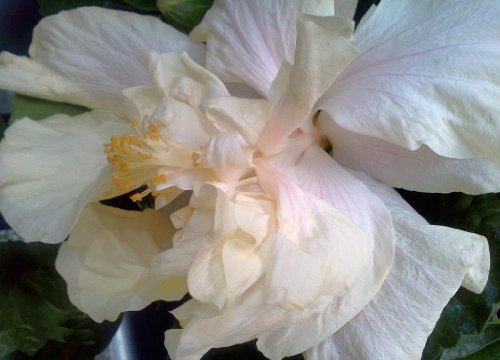 ELEPHANT EAR Tropical Exotic Fancy Hibiscus Live Plant Double Cream ...