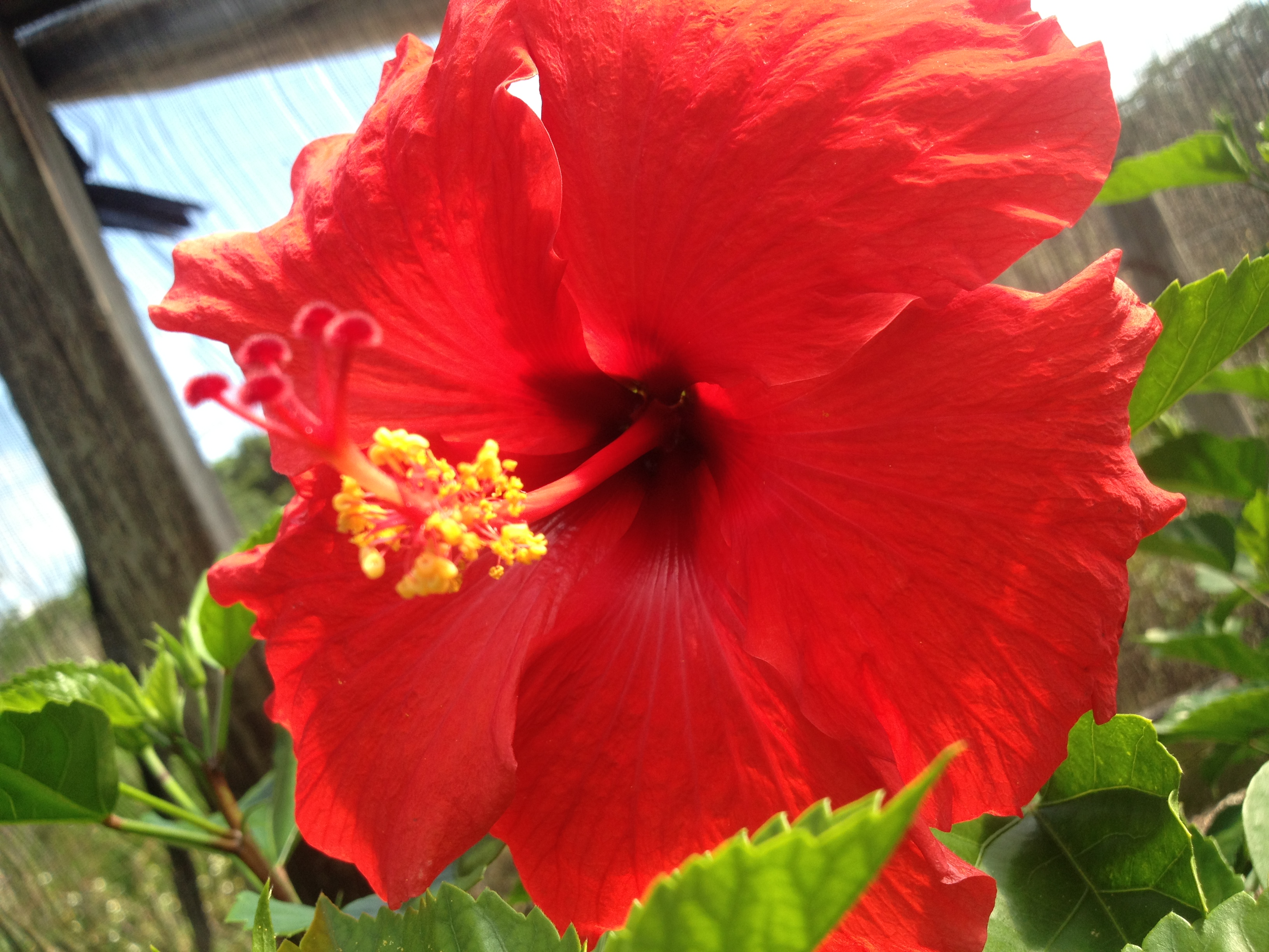 Brilliant Red Tropical Hibiscus Live Plant Single Flower Landscape