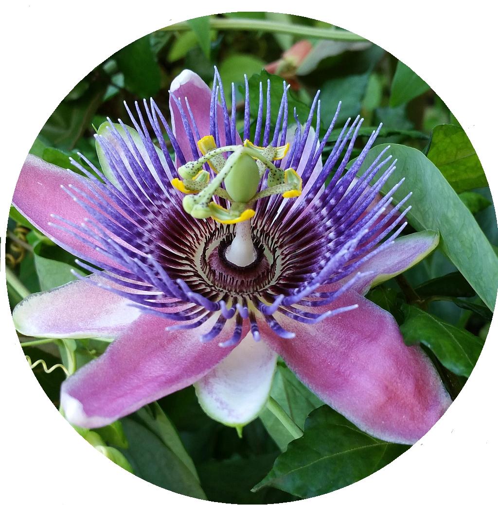 Pfordts Blue Lavender Passion Flower Vine Fragrant Live Plant