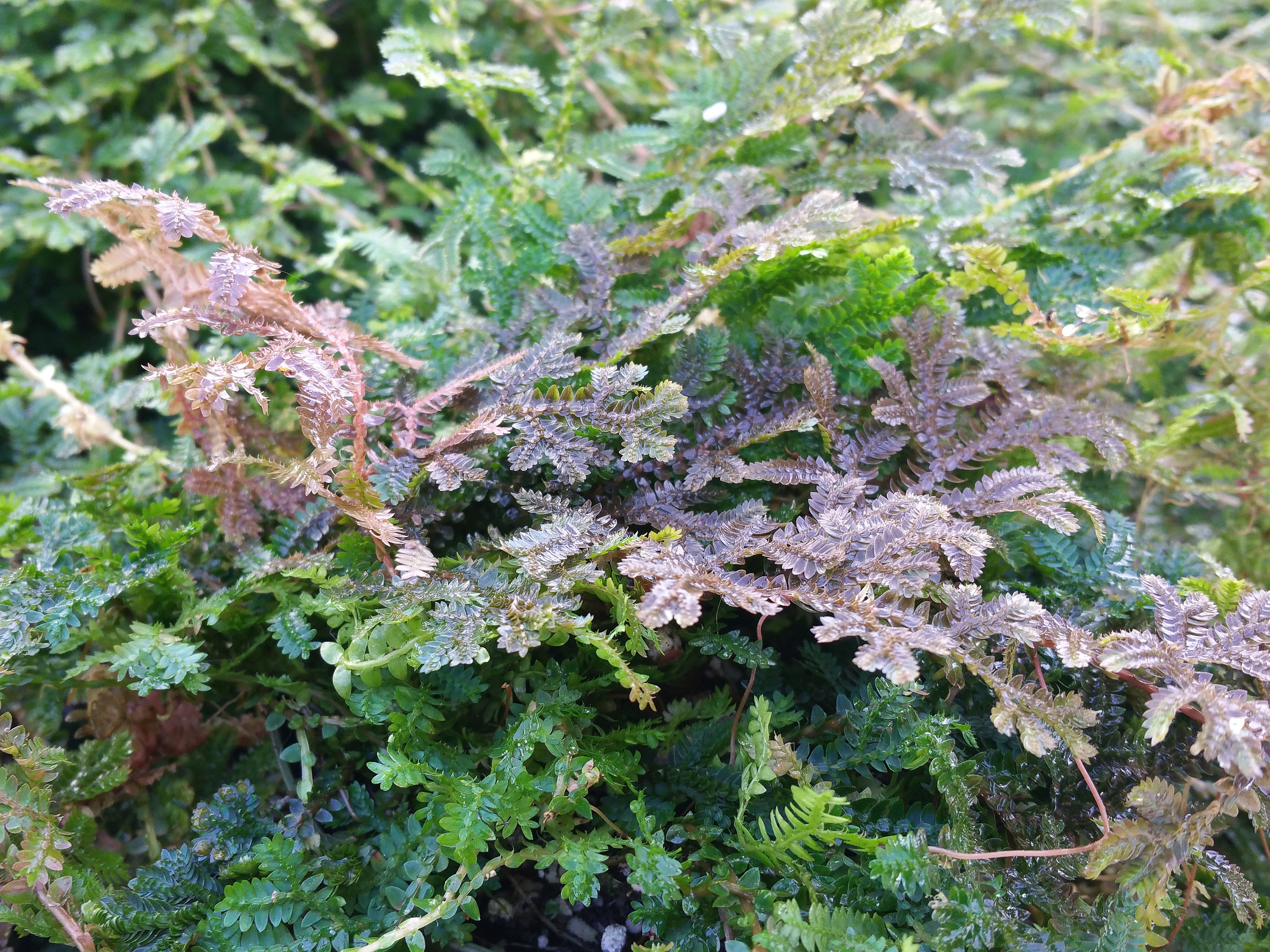 Peacock Rainbow Spikemoss Fern Plant Selaginella Unusual