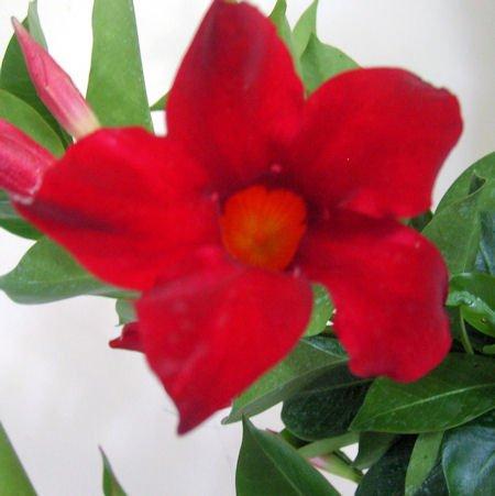 Red Mandevilla Dipladenia Tropical Vine Live Plant Brazilian Jasmine Starter Size 4 Inch Pot Emerald Tm Emerald Goddess Gardens