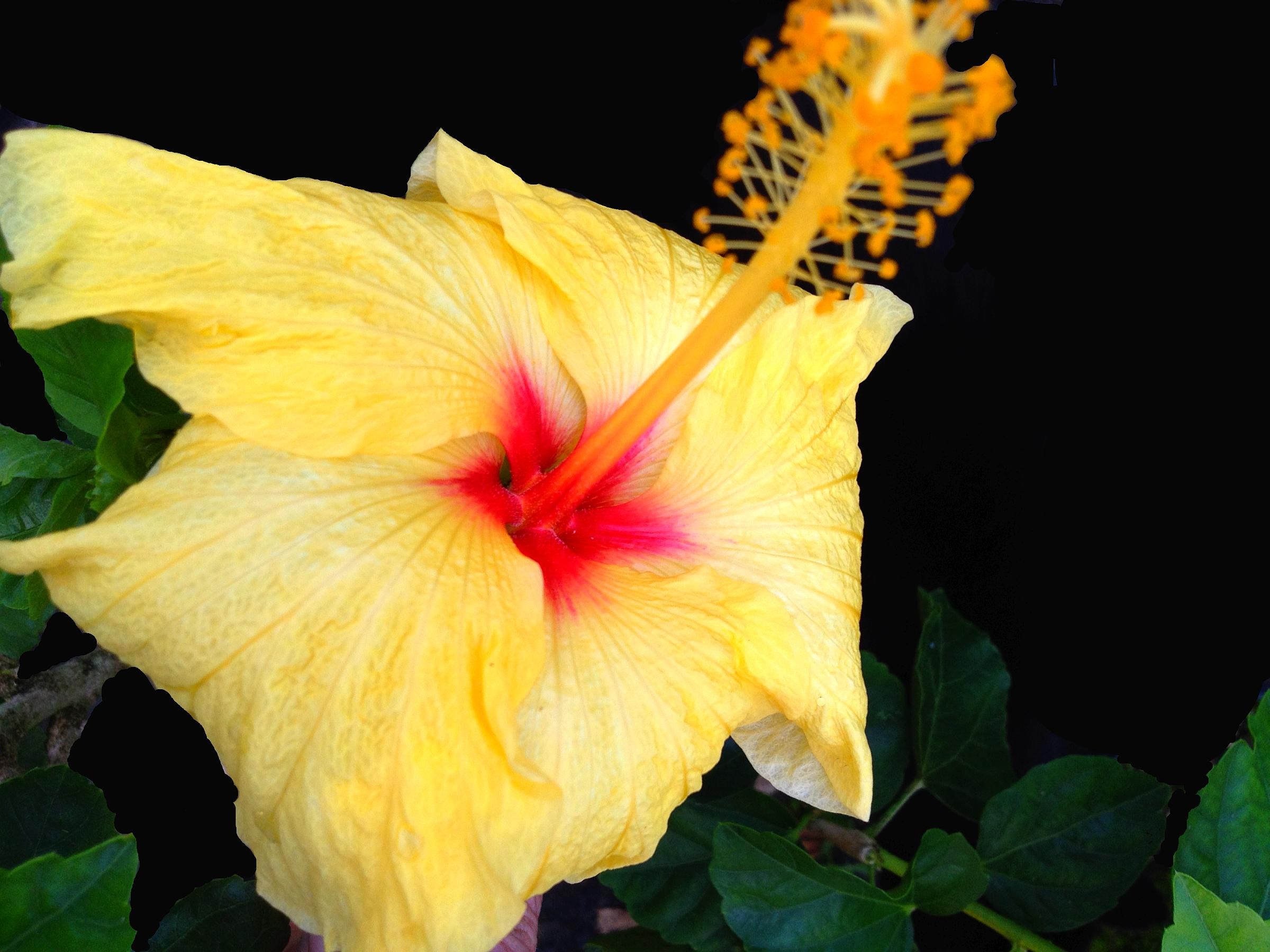 Hula Girl James Hendry Tropical Hibiscus Live Plant Fancy Exotic