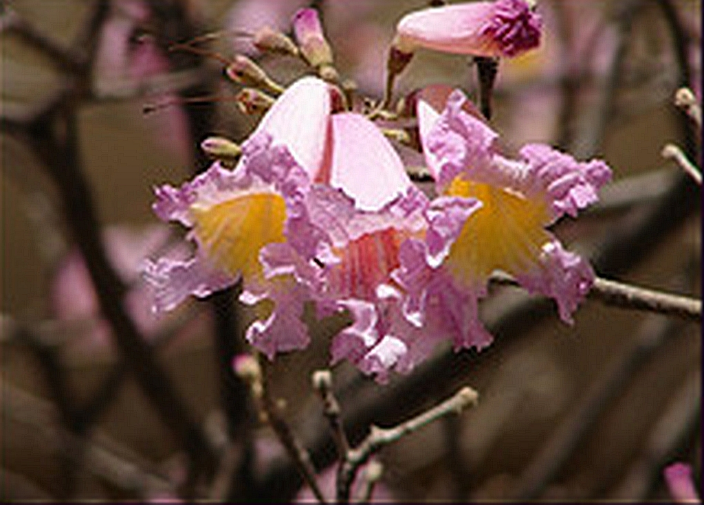 Tabebuia Ipe Pink Trumpet Flowering Tree Live Plant Impetiginosa