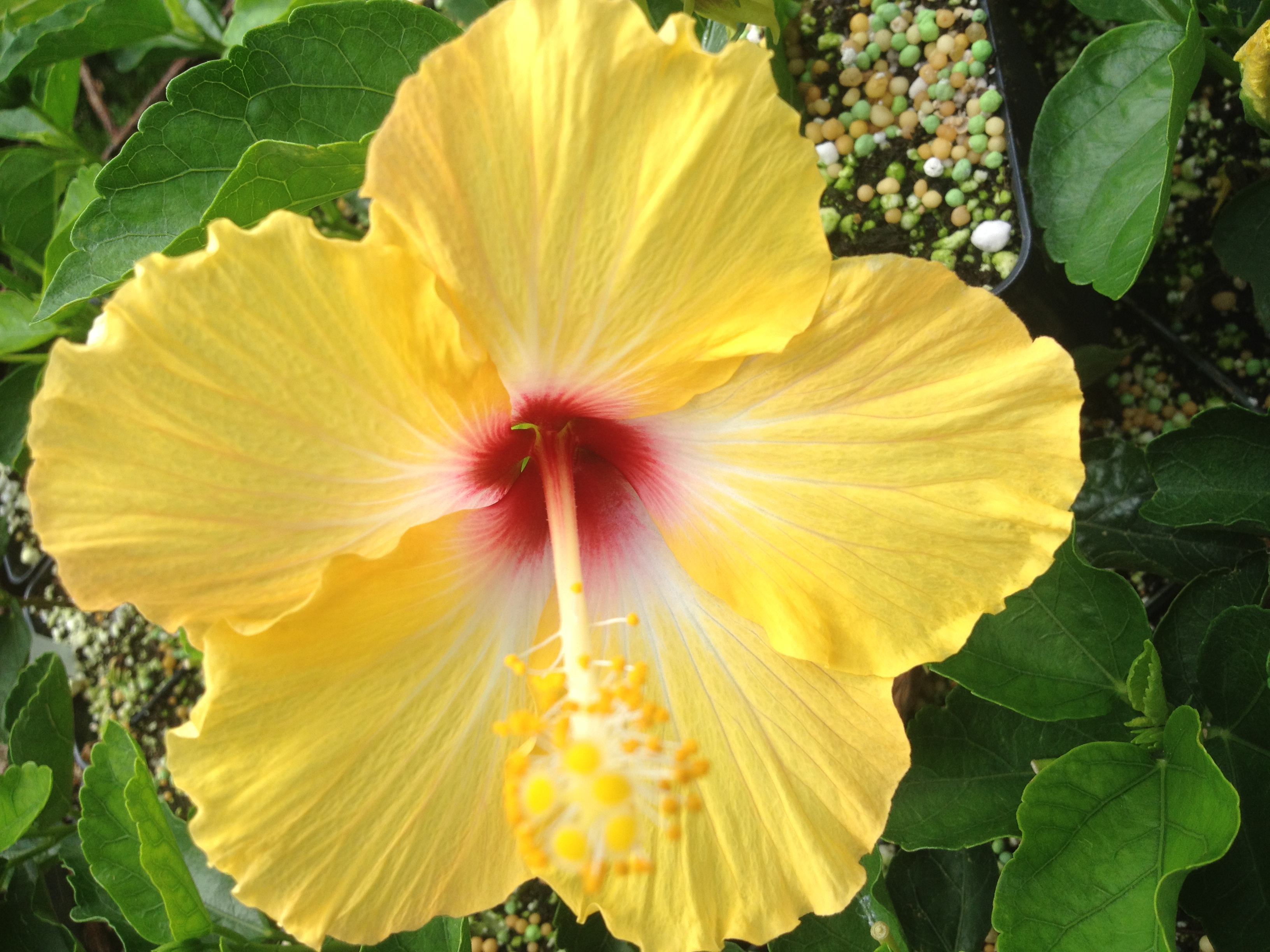 Yellow Wing Heirloom Tropical Landscape Hibiscus Bush Live Plant