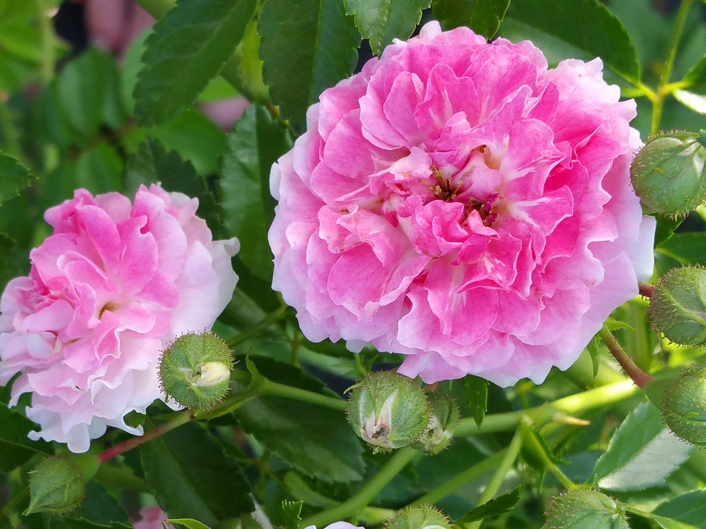 Seven Sisters Old Garden Antique Heirloom Climbing Rambler Rose Bush