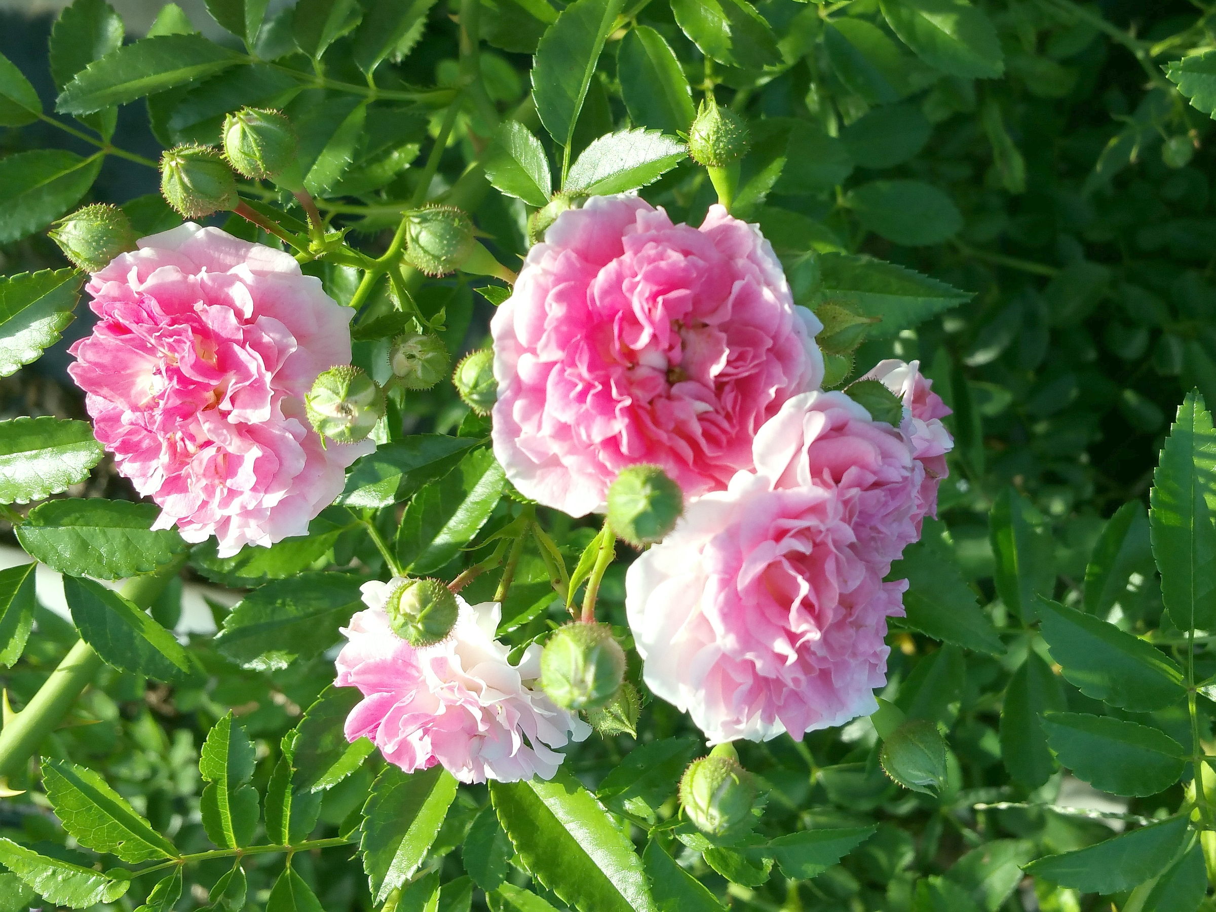 SEVEN SISTERS Old Garden Antique Heirloom Climbing Rambler Rose Bush Live Plant Double Pink Starter Size 4 Inch Pot Emeralds TM - Click Image to Close