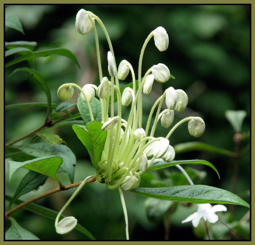 MUSICAL NOTES Tropical Perennial Live Plant Clerodendrum incisum ...