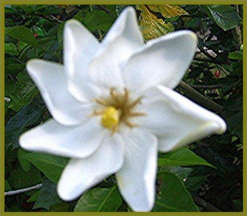Kleims daisy gardenia bush live plant hardy intensely fragrant kleims daisy gardenia bush live plant hardy intensely fragrant single white flowers starter size 4 pot emeralds tm mightylinksfo