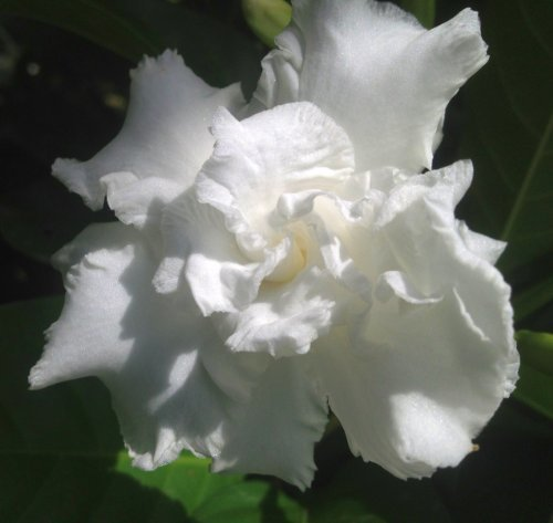 Perennials flowering asstd emerald goddess gardens vetchii gardenia live plant intensely fragrant double white flowers spring summer bloomer starter size plant 4 mightylinksfo