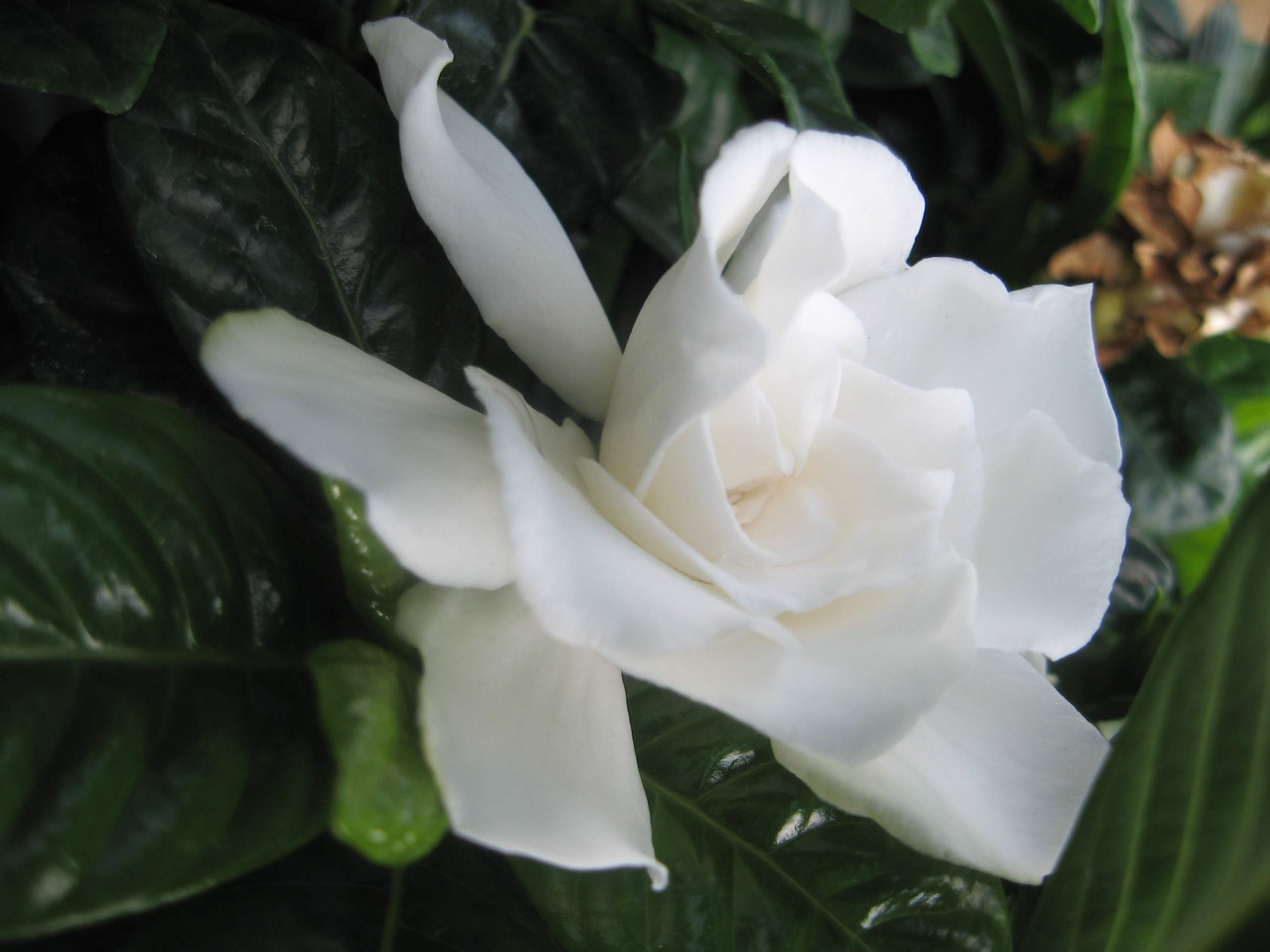 Vetchii Gardenia Live Plant Intensely Fragrant Double White Flowers