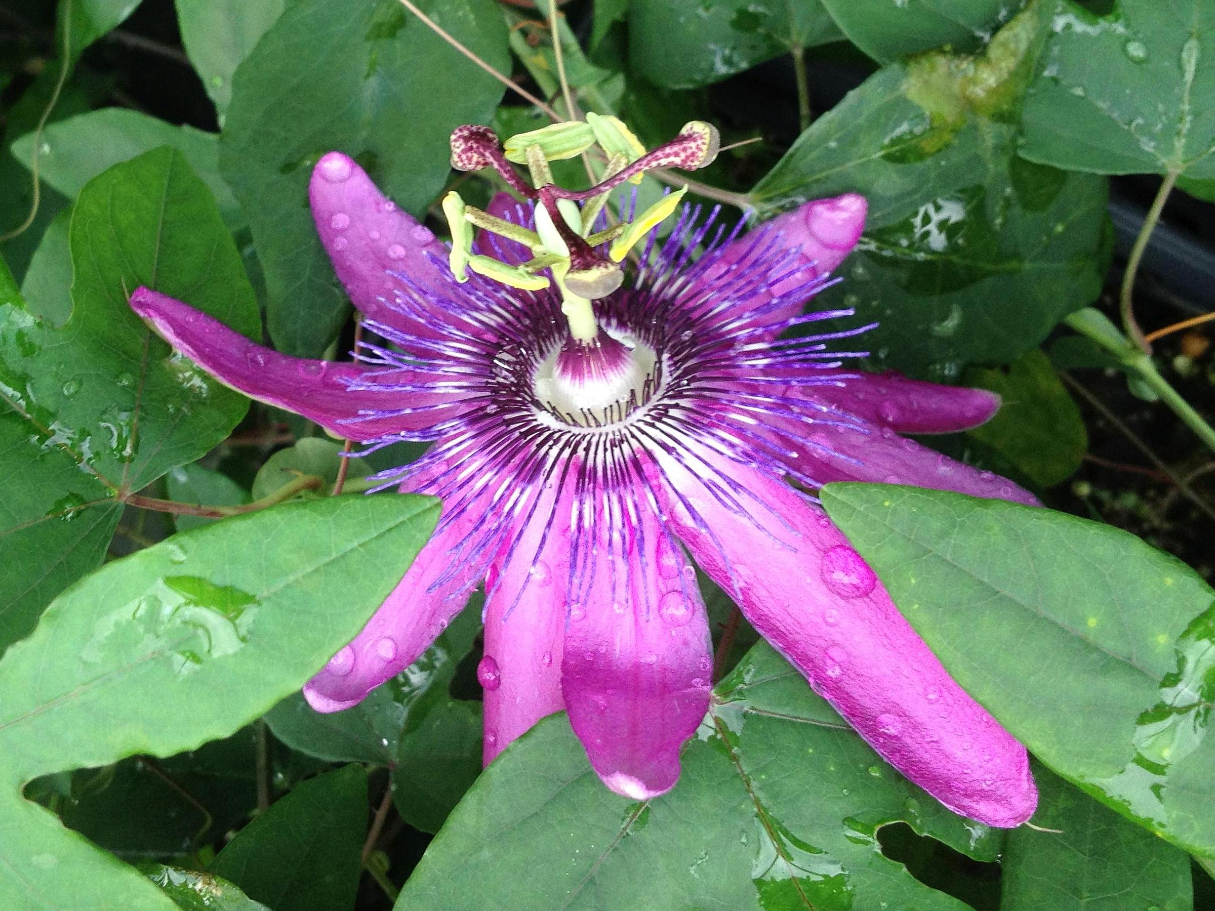 Lavender Lady Purple Passion Flower Vine Live Plant Semi Tropical
