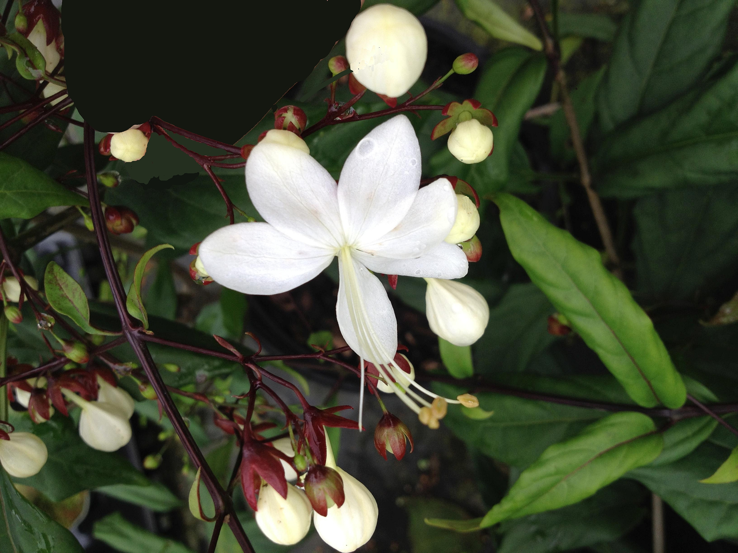 Light bulbs tropical live plant chains of glory unusual white light bulbs tropical live plant chains of glory unusual white flowers clerodendrum smithianum starter size 4 mightylinksfo