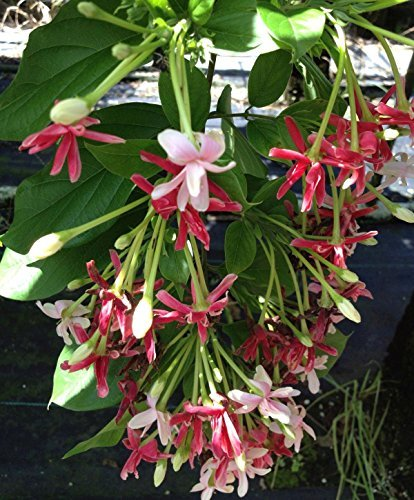 Rangoon Creeper Rare Double Red Pink Bloom Form Fragrant Flowering