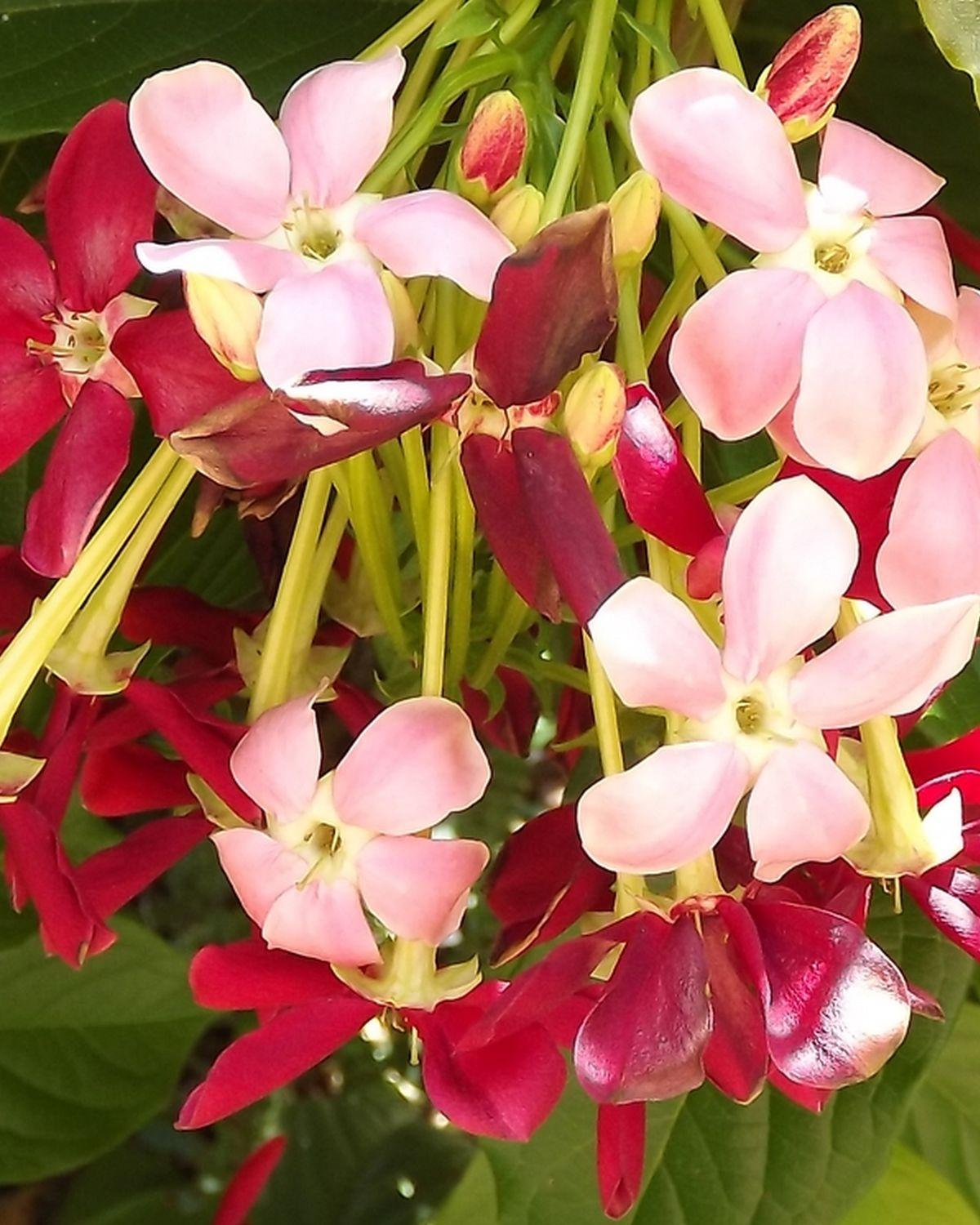 Rangoon Creeper Single Flower Pink Red Exotic Fragrant Tropical