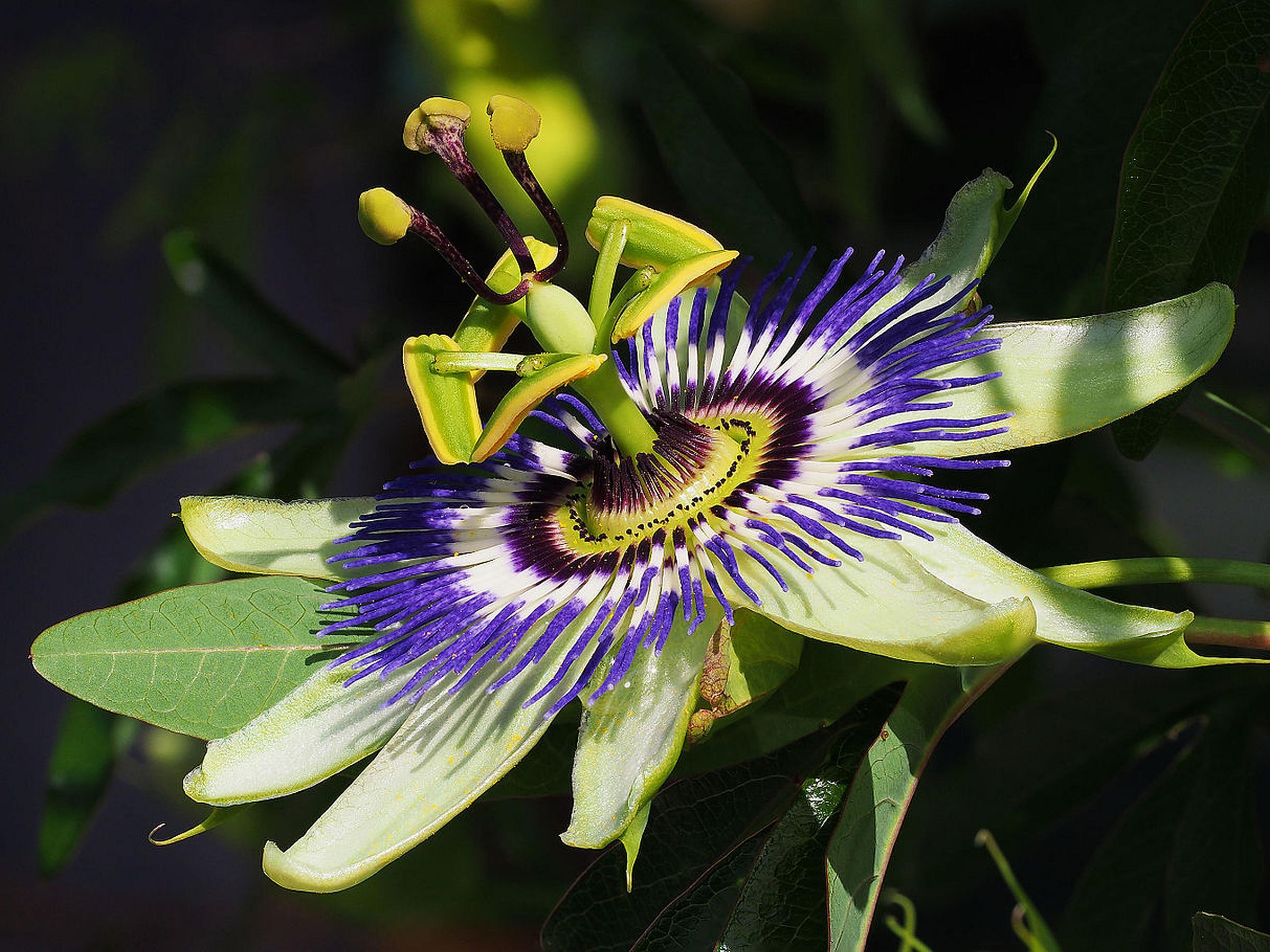 Common Blue Passion Flower Vine Passiflora Caerulea Lightly Fragrant