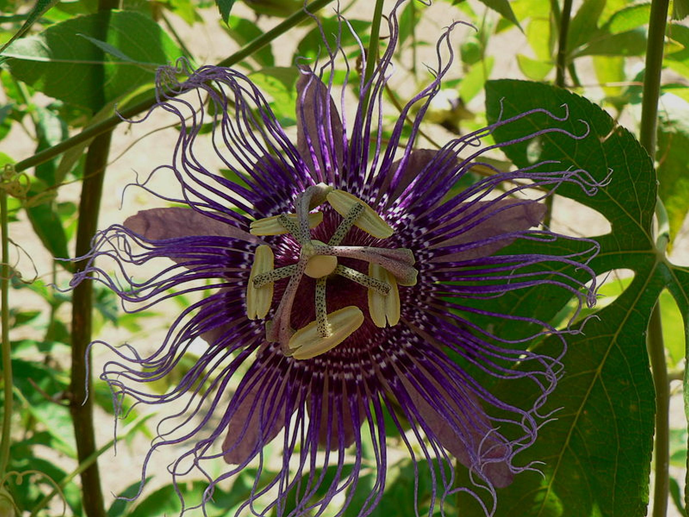 Inspiration Purple Violet Blue Passion Flower Vine Live Plant