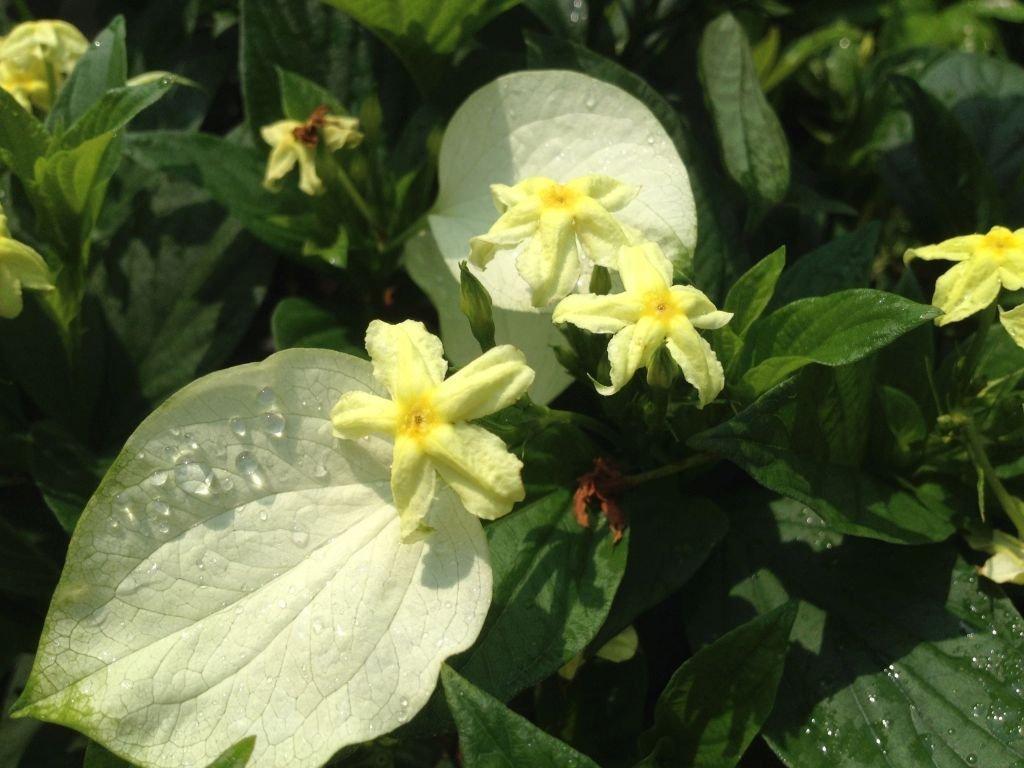 Mussaenda Glabra White Winged Unusual Yellow Flowering Perennial