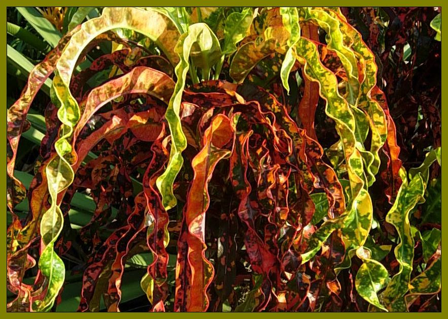 DREADLOCKS Tropical Croton Live Plant Slow Growing Unusual Twisting Cascading Leaves Burgundy Green Yellow Bronze Coral Emeralds TM - Click Image to Close