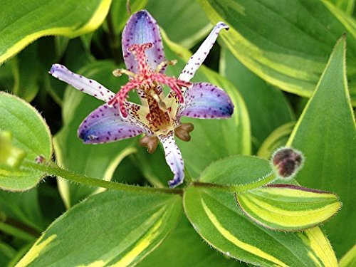 Toad Lily Variegated Live Tropical Plant Shade Garden Tricyrtis