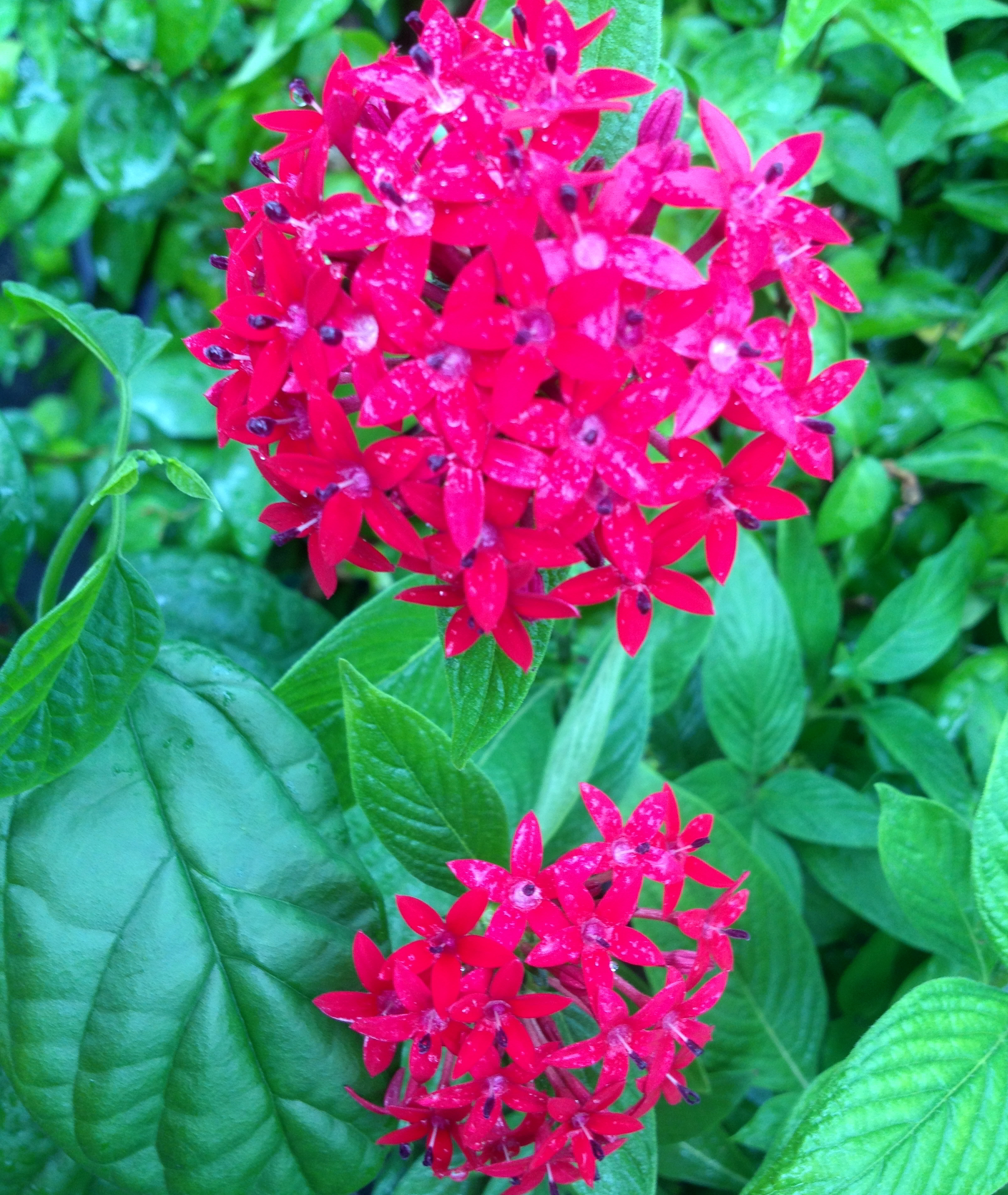 Red Penta Heirloom Perennial Live Tropical Plant Tall Variety