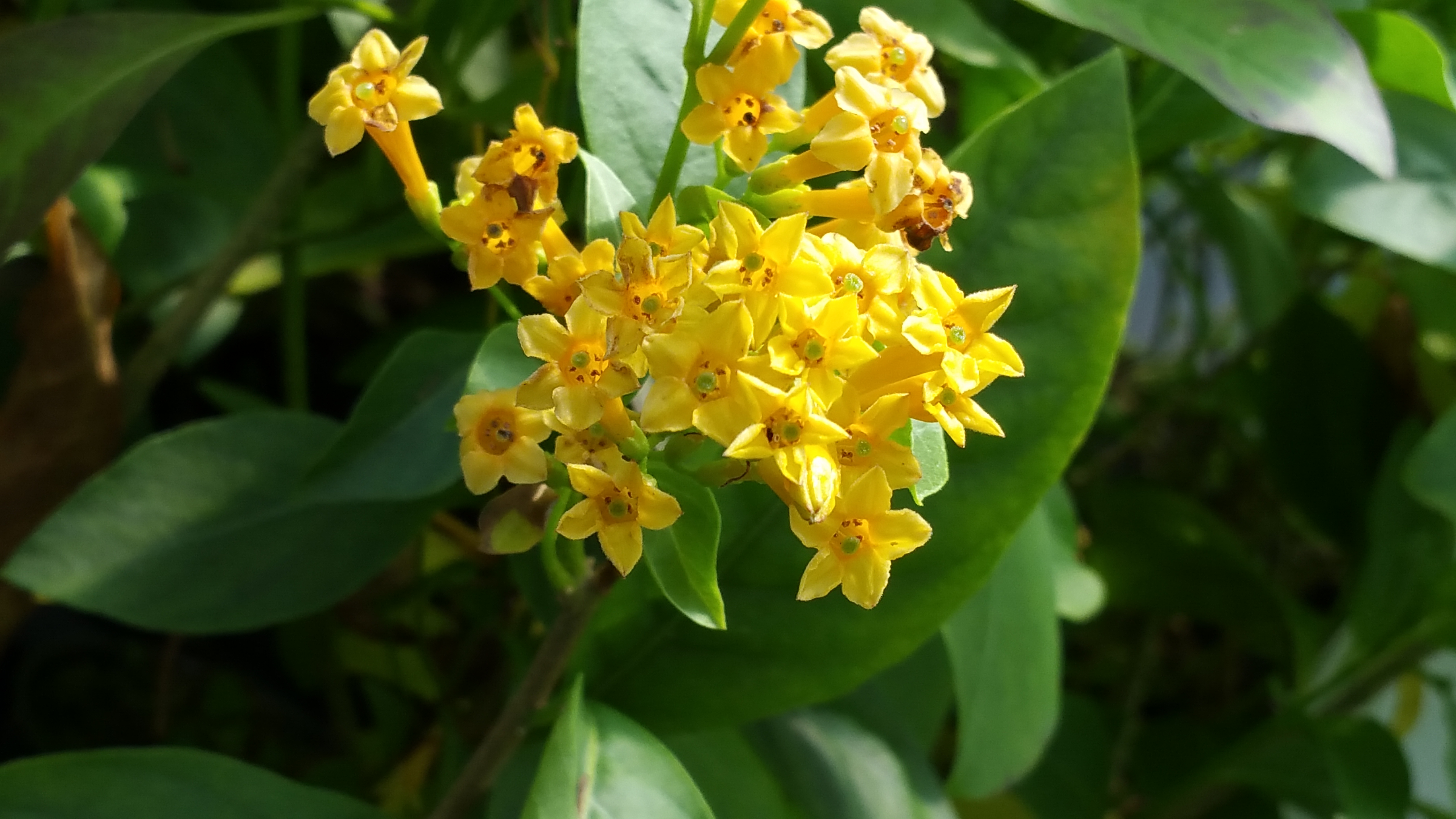 Orange zest peel jasmine jessamine live tropical cestrum plant orange zest peel jasmine jessamine live tropical cestrum plant lightly fragrant orange flower starter size 4 mightylinksfo