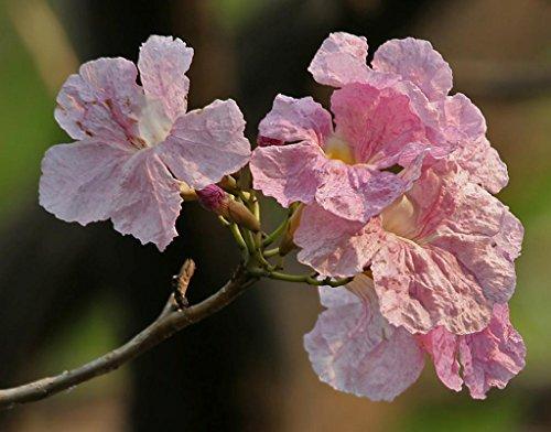 Pink Trumpet Live Tropical Tree Plant Poui Rosa Tabebuia