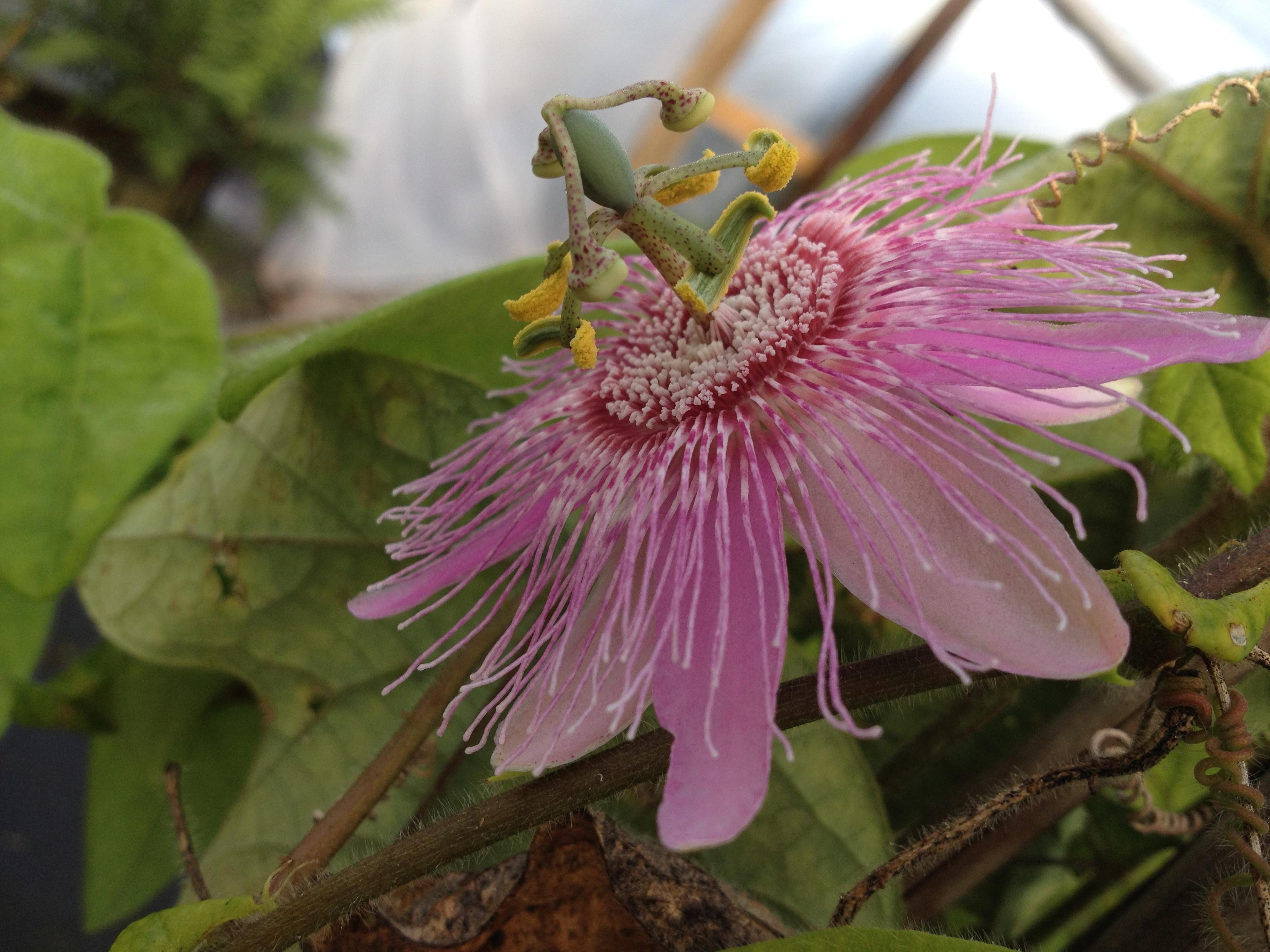 PINK NEPHRODES Passiflora Fragrant Passion Flower Vine Live Plant Unusual Bloom Attracts Butterflies Starter Size 4 Inch PotEmeralds Tm - Click Image to Close