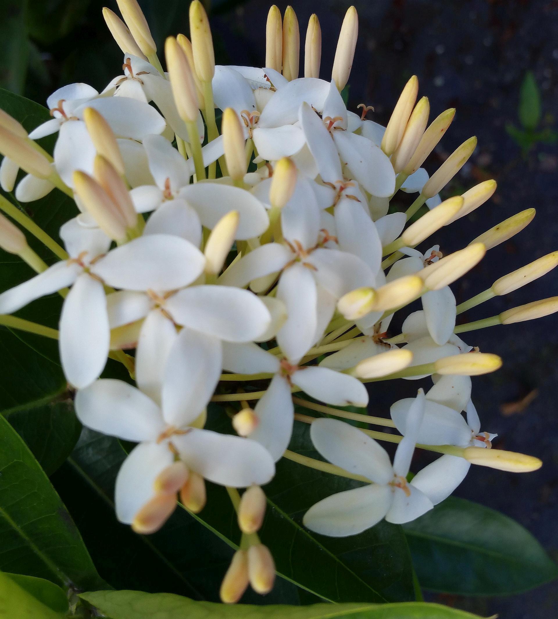 Alibertia Belize White Shooting Star Live Plant Fragrant Flowers
