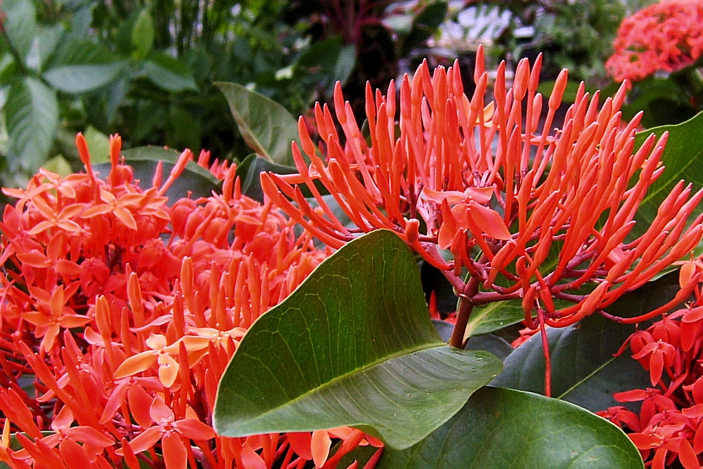 SUPER KING Tropical Ixora Live Plant Flowering Shrub Large Clusters of Brilliant Red Flowers Starter Size 4 Inch Pot Emerald Goddess Gardens - Click Image to Close