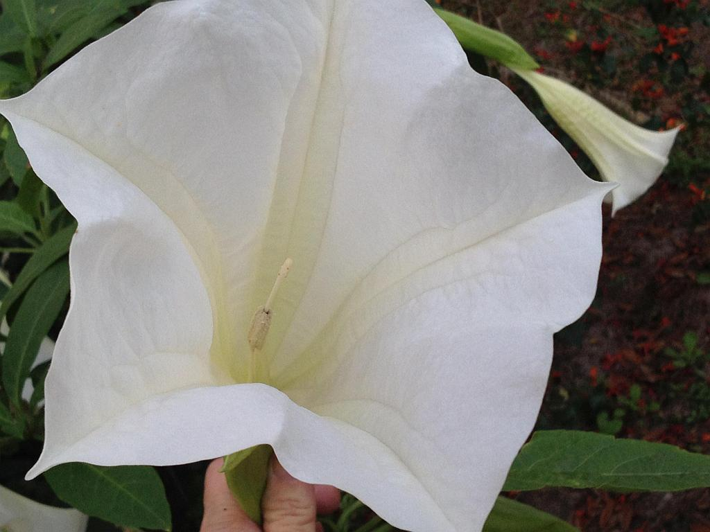 Giant white brugmansia angels trumpet live tropical plant large giant white brugmansia angels trumpet live tropical plant large fragrant pure white flowers starter size 4 mightylinksfo