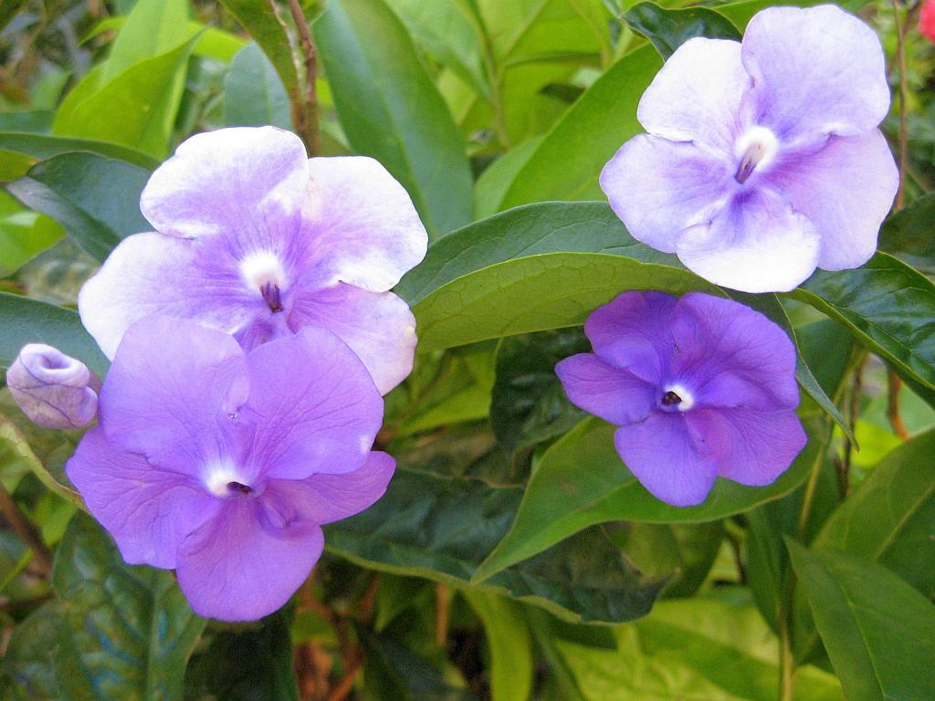 Yesterday Today Tomorrow Live Semi Tropical Flowering Shrub Plant