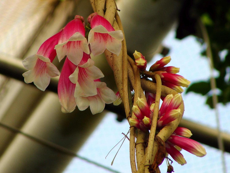 New Guinea Forest Bell Creeper Trumpet Vine Flowering Tropical Vine