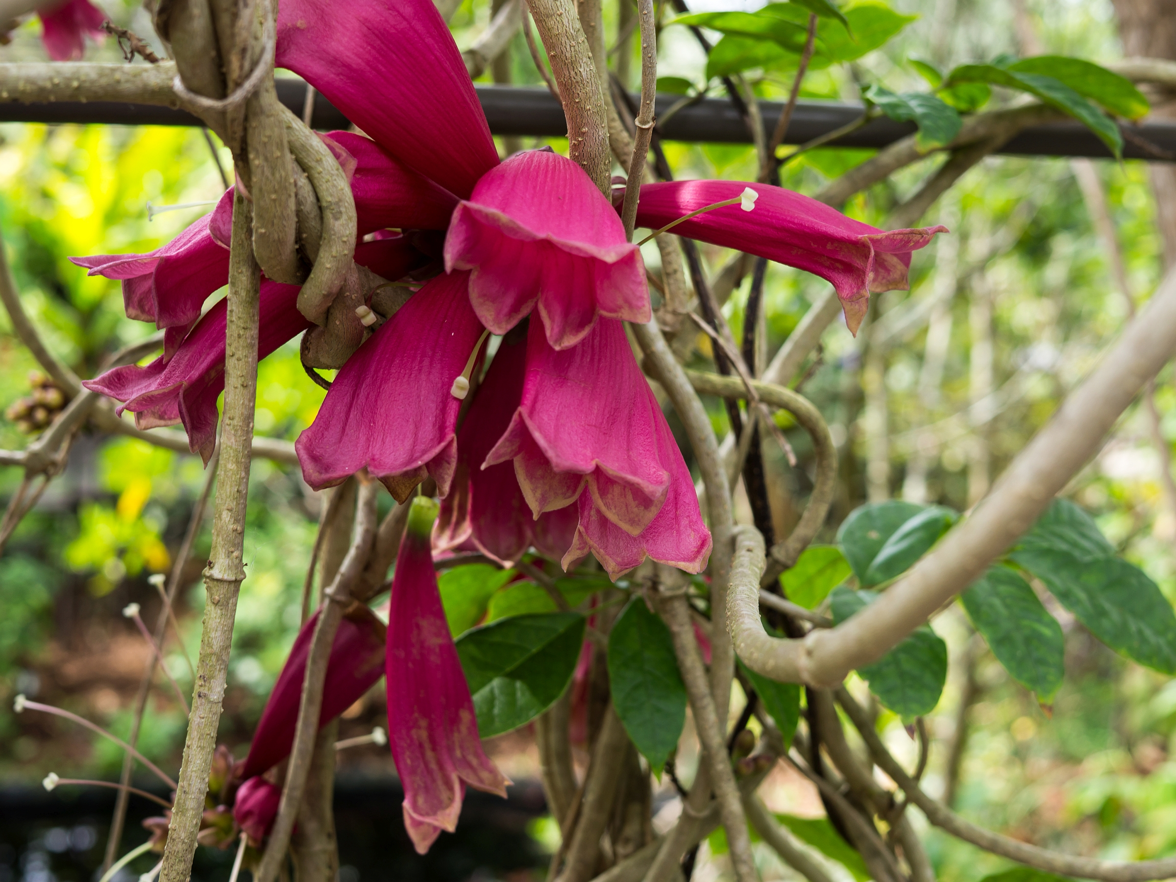 New Guinea Forest Bell Creeper Trumpet Vine Flowering Tropical Plant Unusual Pink Yellow Flowers