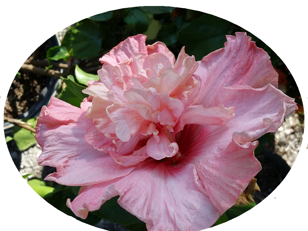 Pink Nectar Hibiscus Tropical Live Plant Extra Large Exotic Fancy