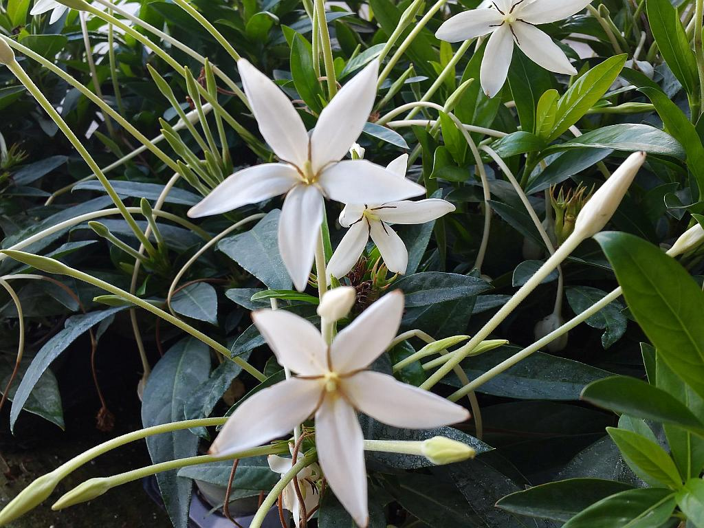Alibertia belize white shooting star live plant fragrant flowers alibertia belize white shooting star live plant fragrant flowers attract butterflies starter size 4 inch pot mightylinksfo