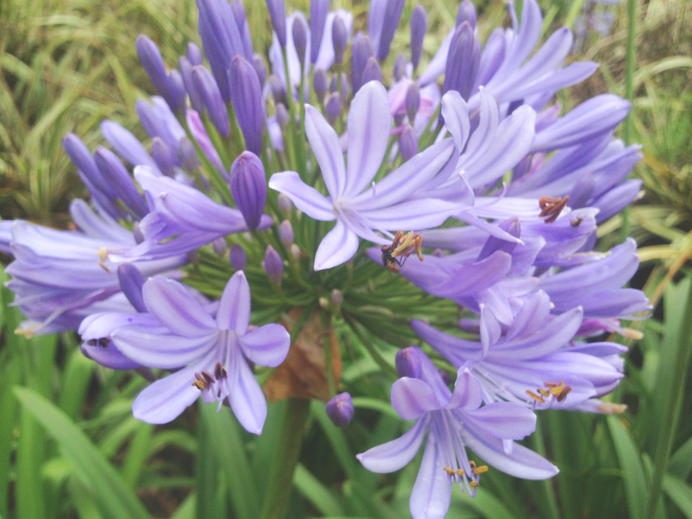 Lavender Lily Of The Nile Agapanthus Live Plant Pale Purple Flower
