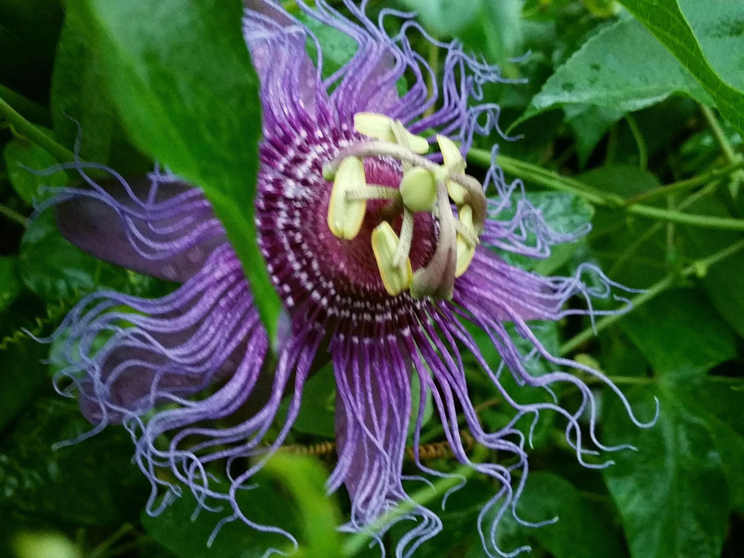 Incense violet purple blue passion flower vine live plant passiflora incense violet purple blue passion flower vine live plant passiflora incarnata x cinnata starter size 4 izmirmasajfo