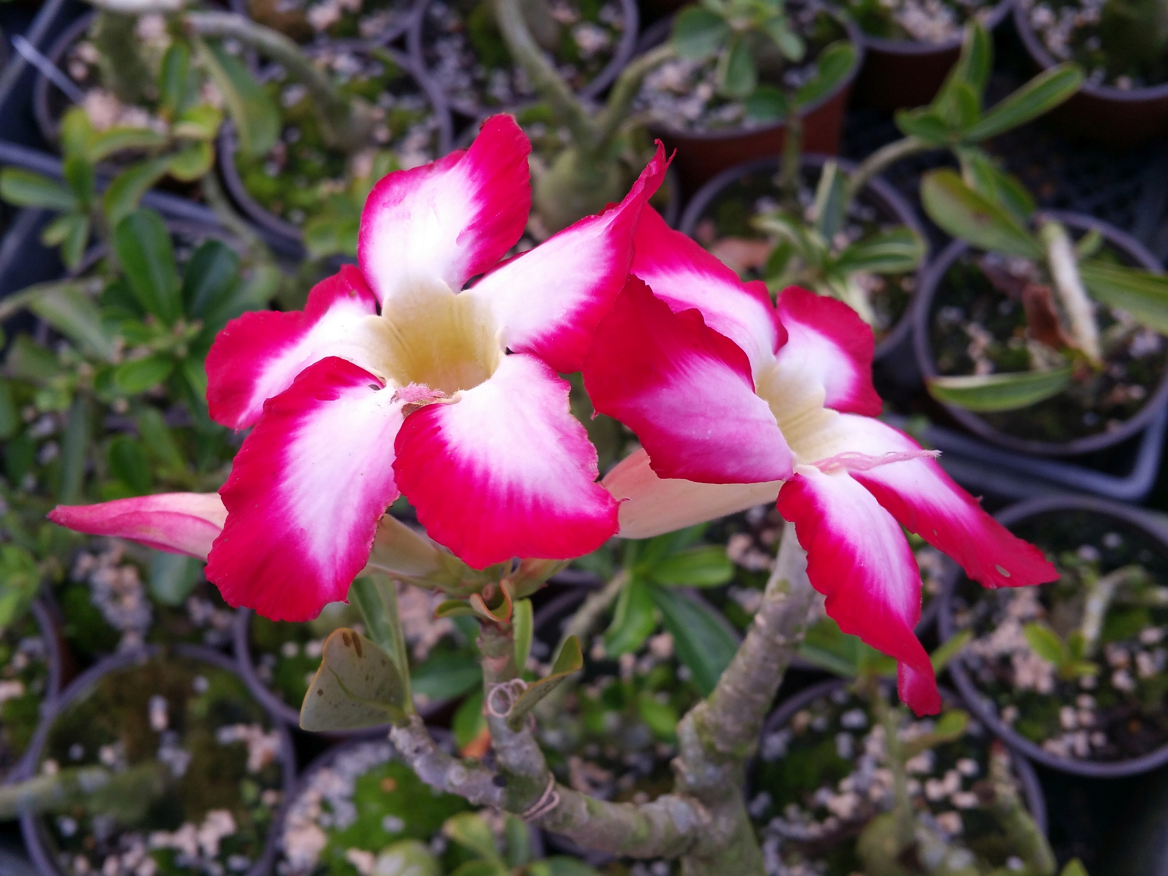 House Plant Vine With Pink Flowers on vine plant red flowers, vine plants identification, vine mandevilla plant care, vine plant purple flowers, vine plant with berries, puncture vine with pink flowers, weeds with pink flowers, vine with small pink flowers,