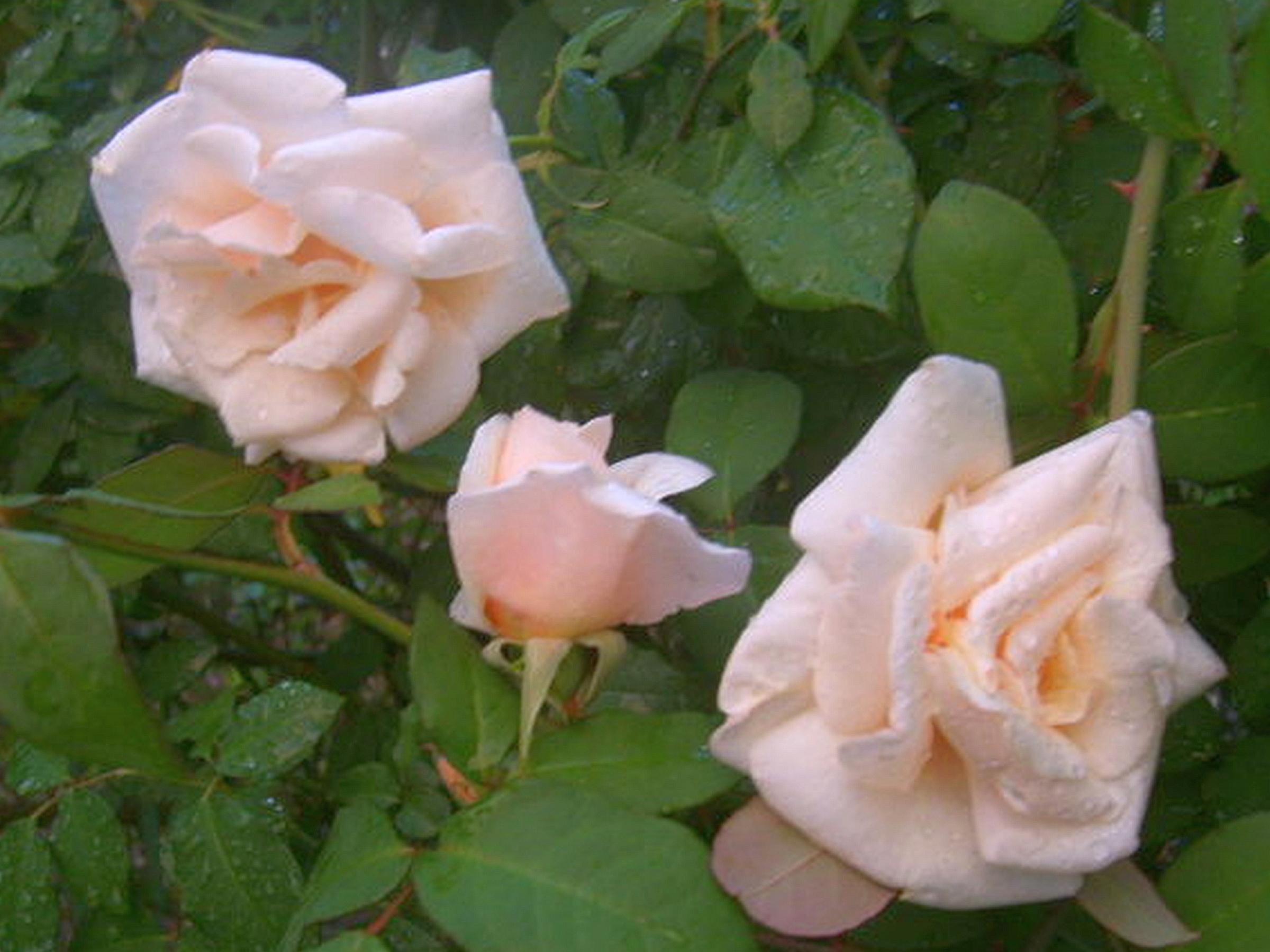 Pinwheel crepe crape false jasmine live plant shrub tabernaemontana safrano apricot pink shrub rose bush live plant heirloom own root antique old found garden fragrant mightylinksfo