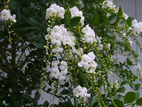 White duranta live semi tropical plant sky flower pigeon berry white duranta live semi tropical plant sky flower pigeon berry golden dew drop starter size larger image mightylinksfo